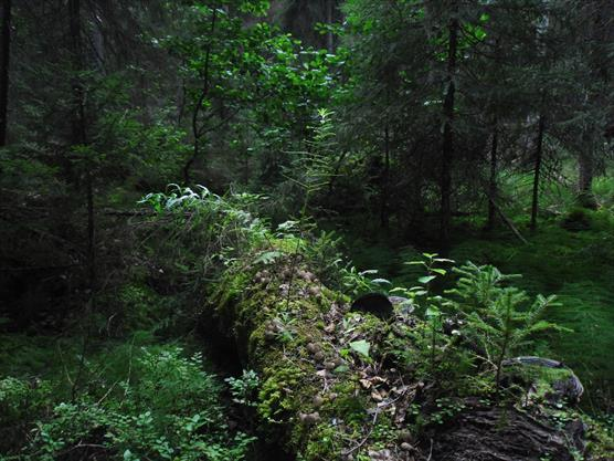 Forest at the natural monument on the Zaonezhye Peninsula in Karelia.