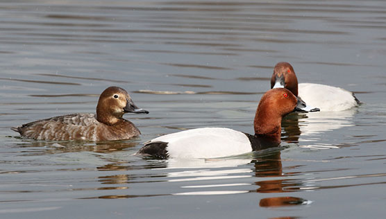 Common pochards